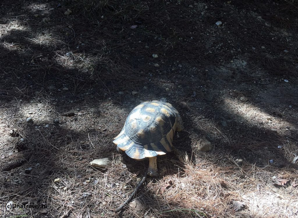 turtle in Lycabettus park